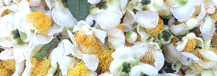 茶の花 Camellia sinensis flowers