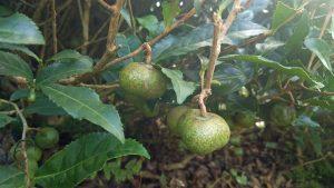 茶の実 camellia sinensis seed pod