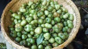 収穫したばかりの茶実サヤ