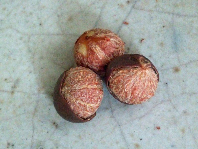 茶種子 camerllia sinensis seed